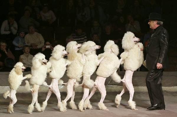 1423208843906_dogs-conga-line-poodle-style